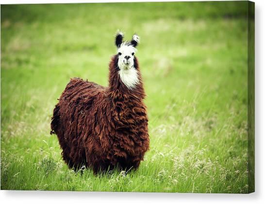 Llamas Canvas Print - An Alpaca Vicugna Pacos Poses by Todd Korol