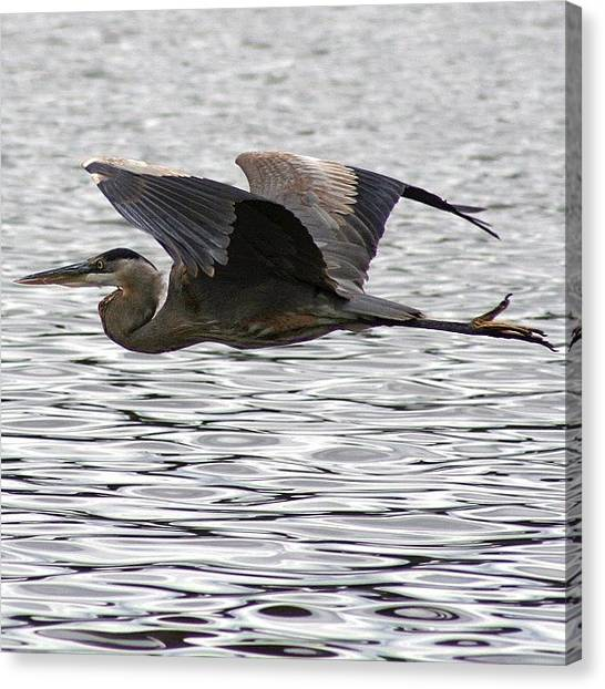 Herons Canvas Print - An Older Shot From #texas by John Wagner