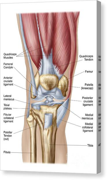 Lateral Collateral Ligament Canvas Prints Fine Art America