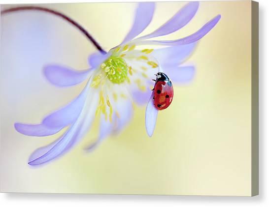 Ladybugs Canvas Print - Anemone Lady by Jacky Parker
