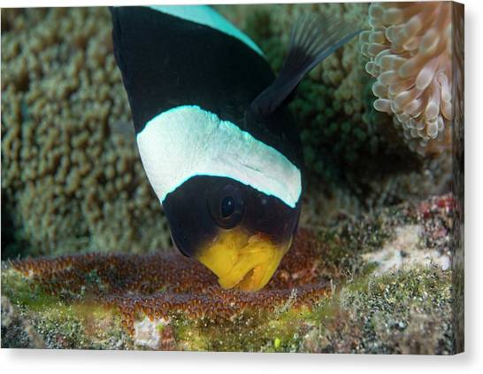 Anemonefish Canvas Print - Anemonefish Guarding Eggs by Scubazoo