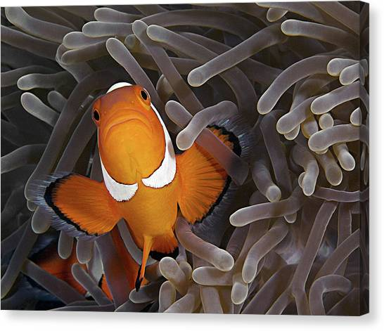 Anemonefish Canvas Print - Anemonefish by Henry Jager