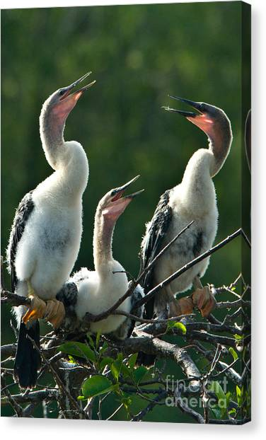 Florida State Bird Canvas Print