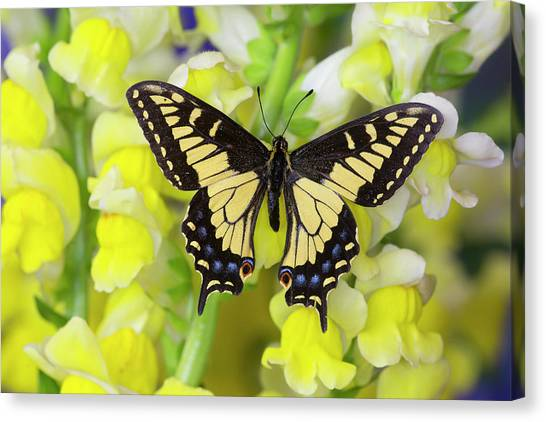 Snapdragons Canvas Print - Anise Swallowtail Butterfly, Papilio by Darrell Gulin