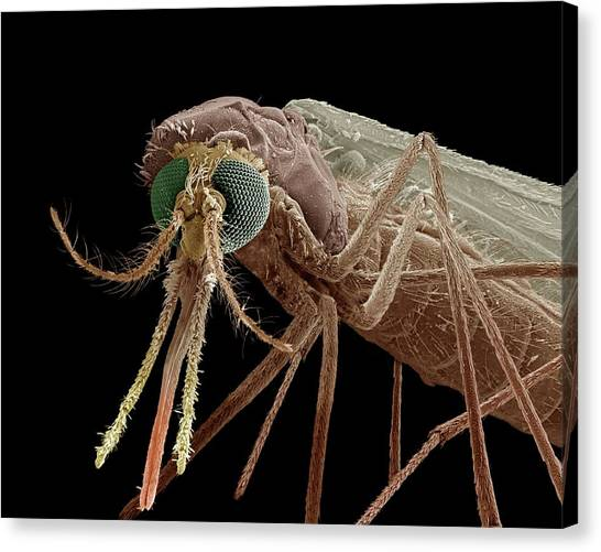 Causes Canvas Print - Anopheles Mosquito by Clouds Hill Imaging Ltd