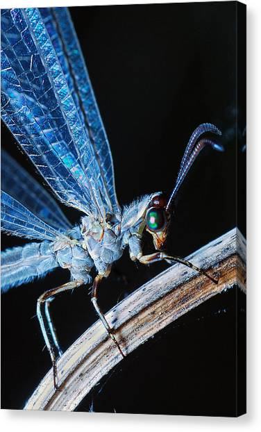 Antlion Canvas Print