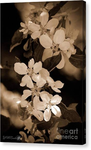 Canvas Print - Apple Blossom by J McCombie