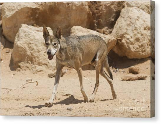 Negev Desert Canvas Print - Arabian Wolf Canis Lupus Arabs by Eyal Bartov