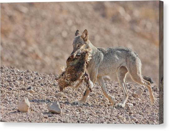 Negev Desert Canvas Print - Arabian Wolf (canis Lupus Arabs) by Photostock-israel