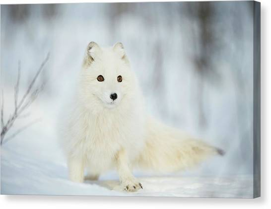 Arctic Fox In The Snow Canvas Print by Dr P. Marazzi/science Photo Library