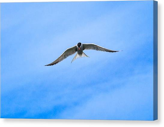 Canvas Print featuring the photograph Arctic Tern by Perla Copernik