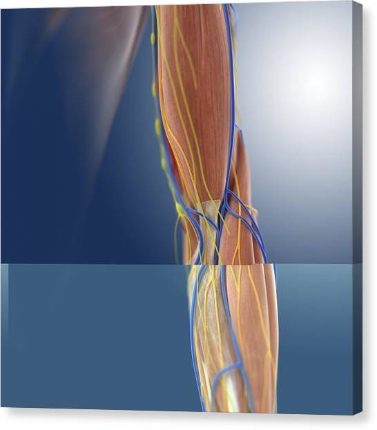 Lower Arm Canvas Prints Page 2 Of 3 Fine Art America