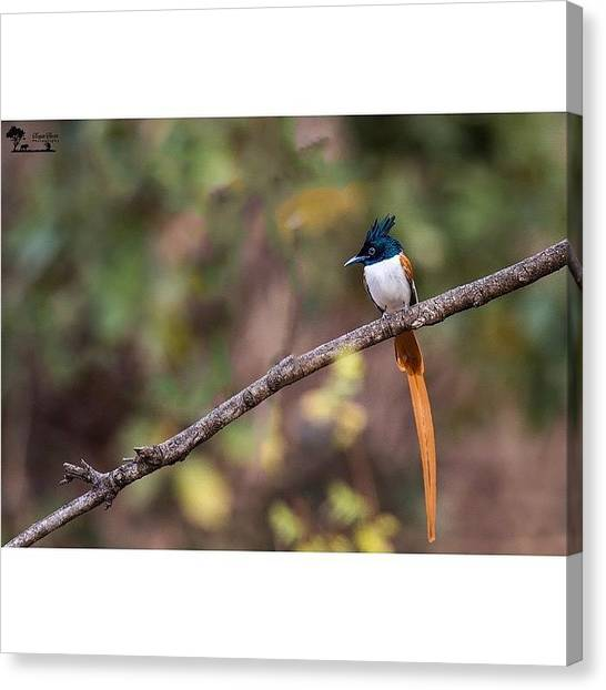 Flycatchers Canvas Print - Asian Paradise-flycatcher (terpsiphone by Nayan Hazra