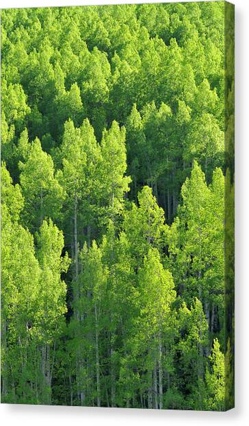 Aspen Trees Populus Tremuloides Canvas Print
