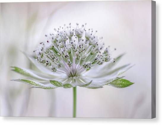Astrantia Canvas Print by Mandy Disher