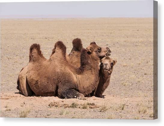 Gobi Desert Canvas Print - Bactrian Camels In The Gobi Desert by Alan Toepfer