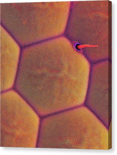Bagworm Moth Compound Eye Canvas Print by Dennis Kunkel Microscopy/science Photo Library