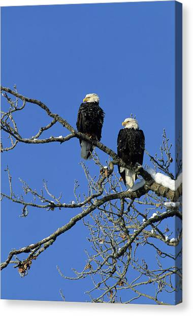 Scavenger Canvas Print - Bald Eagle, Chilkat River, Haines by Gerry Reynolds