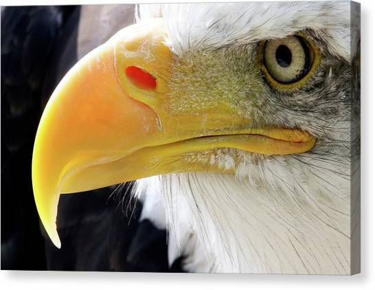 Bald Eagle Canvas Print by John Devries/science Photo Library