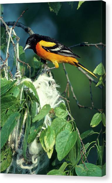 Baltimore Orioles Canvas Print - Baltimore Oriole (icterus Galbula by Richard and Susan Day
