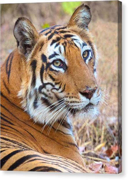 Bandhavgarh Tigeress Canvas Print