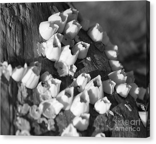 Barnacles 2 Canvas Print