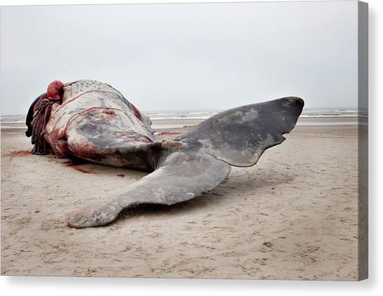 Sperm Whales Canvas Print - Beached Sperm Whale Body by Thomas Fredberg