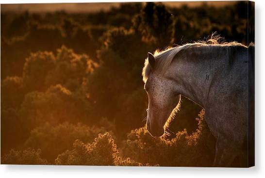 Beautiful Image Of New Forest Pony Horse Backlit By Rising Sun I Canvas Print by Matthew Gibson