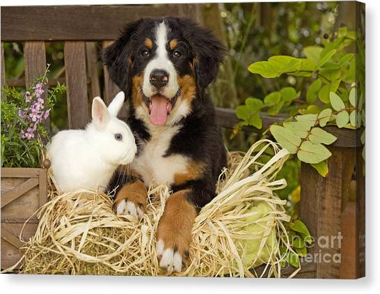 Bernese Mountain Dogs Canvas Print - Bernese Mountain Puppy And Rabbit by Jean-Michel Labat