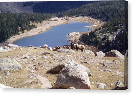 Big Horn Sheep Gang Canvas Print