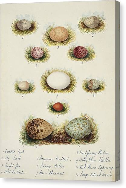 Lapwing Canvas Print - Bird Eggs From India by Natural History Museum, London/science Photo Library