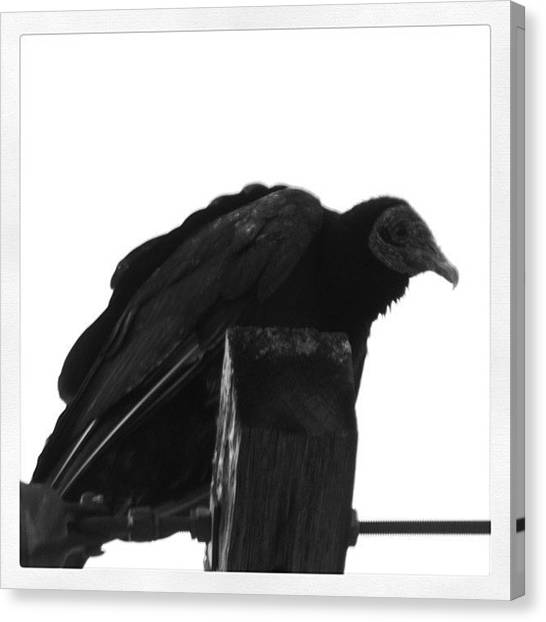 Vultures Canvas Print - #birds #birdlovers #bestbirds by Robb Needham