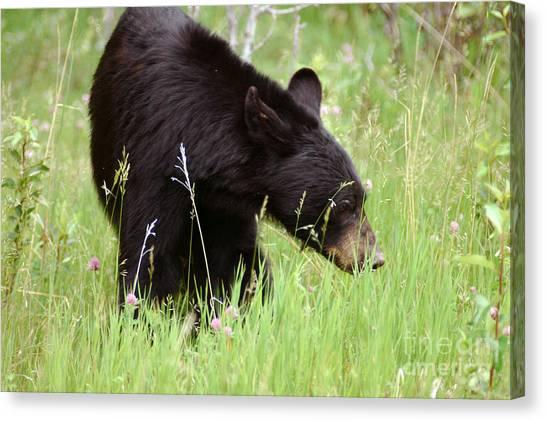 556p Black Bear Canvas Print