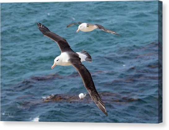 Albatrosses Canvas Print - Black-browed Albatross (thalassarche by Martin Zwick