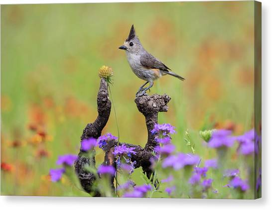 Titmice Canvas Print - Black-crested Titmouse, Baeolophus by Larry Ditto