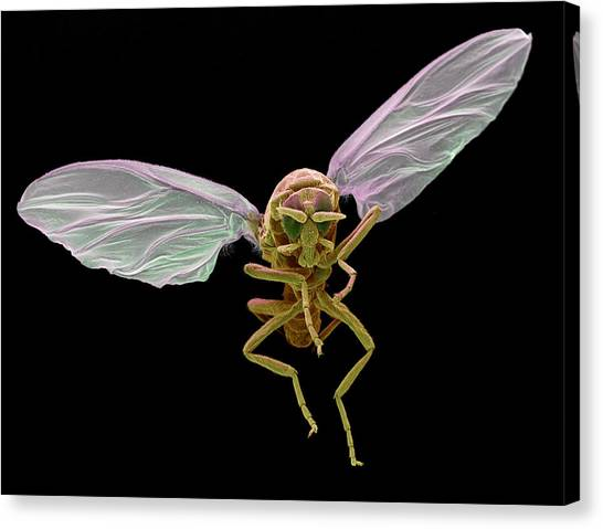Gnats Canvas Print - Black Fly by Eye of Science