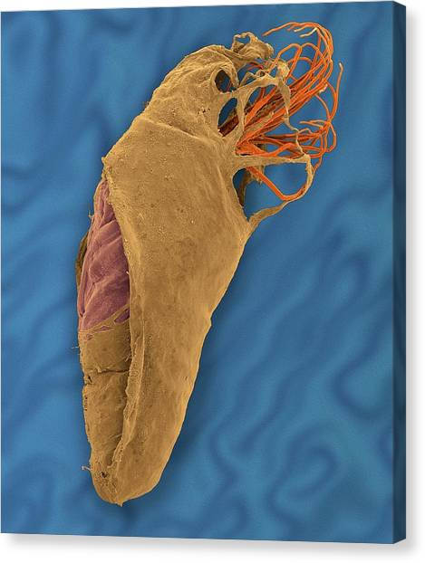 Gnats Canvas Print - Black Fly Pupa by Dennis Kunkel Microscopy/science Photo Library