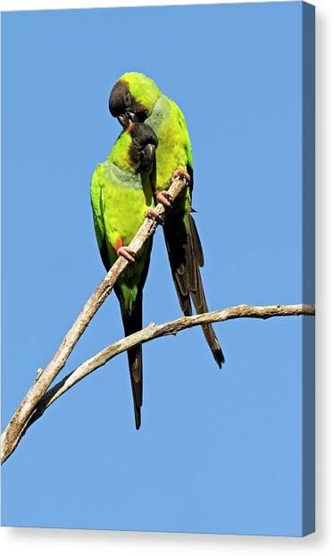 Parakeets Canvas Print - Black-hooded Parakeets by Tony Camacho/science Photo Library