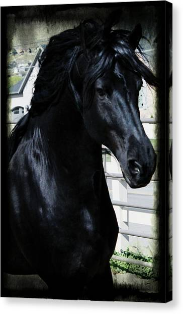 Black Stallion Canvas Print