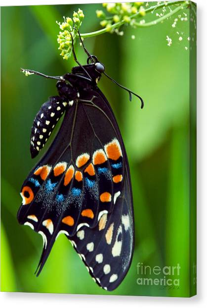 It Professional Canvas Print - Black Swollowtail  by Iris Richardson