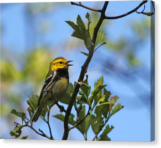 Black-throated Green Warbler Canvas Print by Brian Magnier