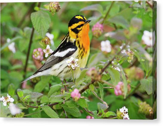 Warblers Canvas Print - Blackburnian Warbler (dendroica Fusca by Larry Ditto
