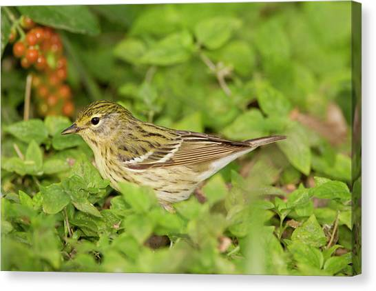 Warblers Canvas Print - Blackpol Warbler (dendroica Striata by Larry Ditto