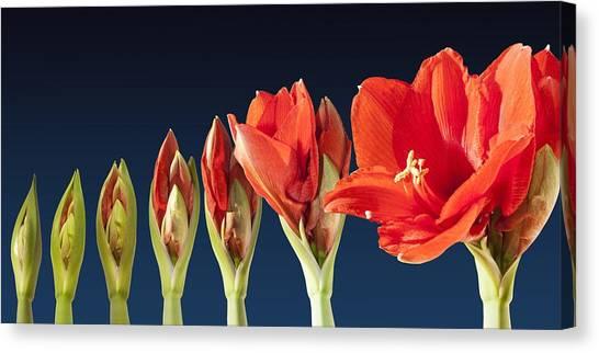 Blossoming Amaryllis Flower Canvas Print