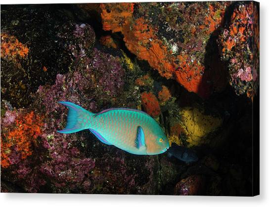 Chin Canvas Print - Blue-chin Parrotfish (scarus Ghobban by Pete Oxford