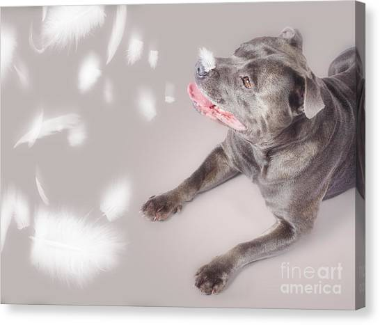 Anticipation Canvas Print - Blue Staffie Dog Watching Floating Feathers by Jorgo Photography - Wall Art Gallery