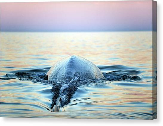 Blue Whales Canvas Print - Blue Whale by Christopher Swann