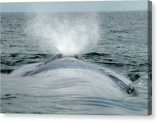 Blue Whales Canvas Print - Blue Whale Exhaling by Christopher Swann/science Photo Library