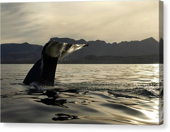 Blue Whales Canvas Print - Blue Whale Fluking by Christopher Swann/science Photo Library