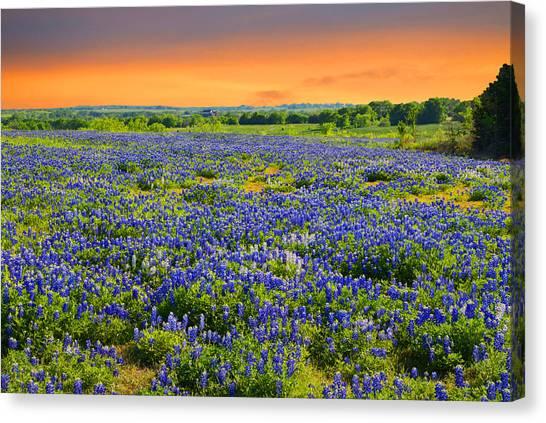 Bluebonnet Sunset  Canvas Print